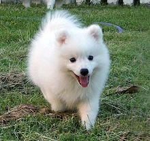 Japanese Spitz - I know several people in South Korea who own one. =)
