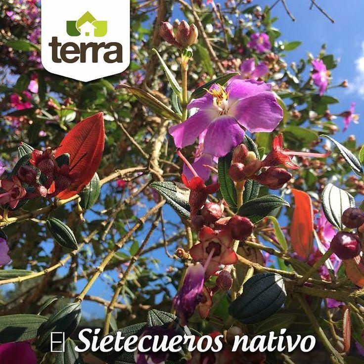 El #SietecuerosNativo es recomendado como protector de fuentes hídricas y como inductor de restauración de bosques secundarios, además tiene un uso ornamental por lo cual es normal encontrarlo sembrado en parques, plazoletas y jardines.