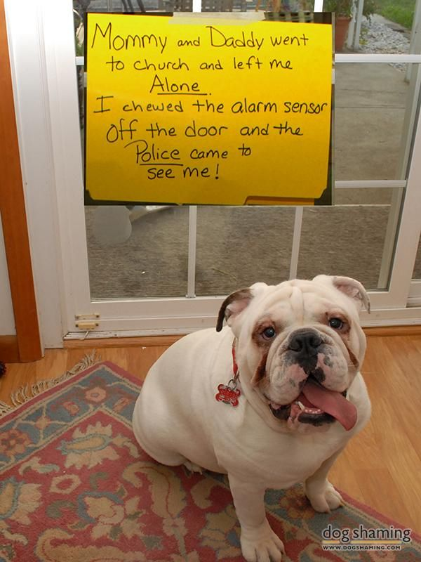"""My wife and I went to church and when we got home we discovered our English Bulldog Sarge had chewed the alarm sensor off the patio door, set the alarm off, and the cops came."""