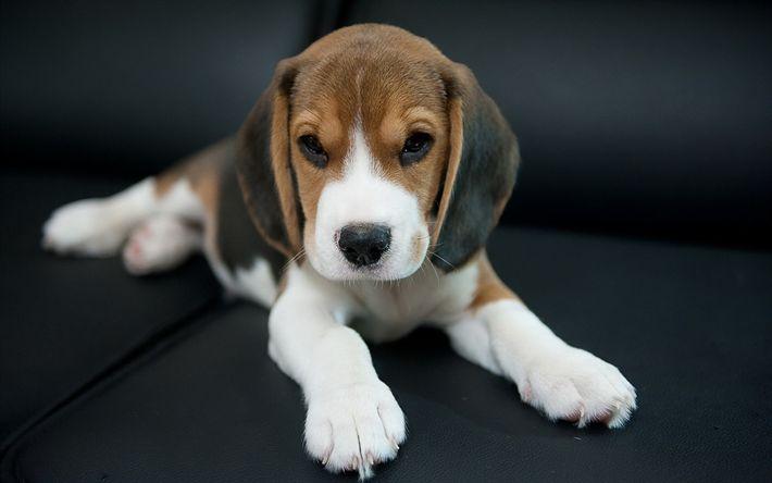 Download imagens beagle, cachorros, filhote de cachorro, beagles, animais fofos