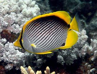 Blackback butterflyfish