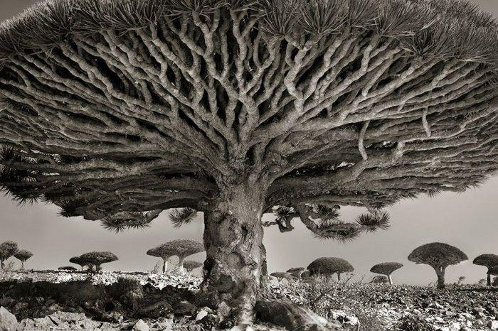 staroveke-stromy1