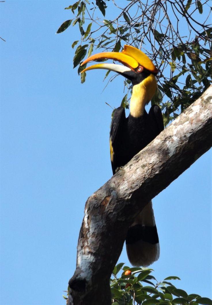 Great Hornbill in Kaeng Krachan national park