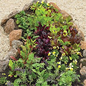 How to Grow a Salad bar    Sow seeds in late summer and enjoy your own fresh greens through fall.  In this photo, Lettuce:  Red- and green-leaf lettuces such as 'Oak Leaf' and 'Ruby', as well as the Heirloom Cutting Mix from Renee's Garden. Other greens:  'Bull's Blood' beets, kale, spinach, and 'Bright Lights' Swiss chard.