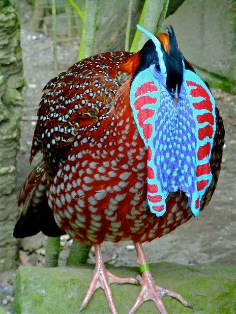 Temminck's Tragopan we should always have these on our Planet shouldn't we?