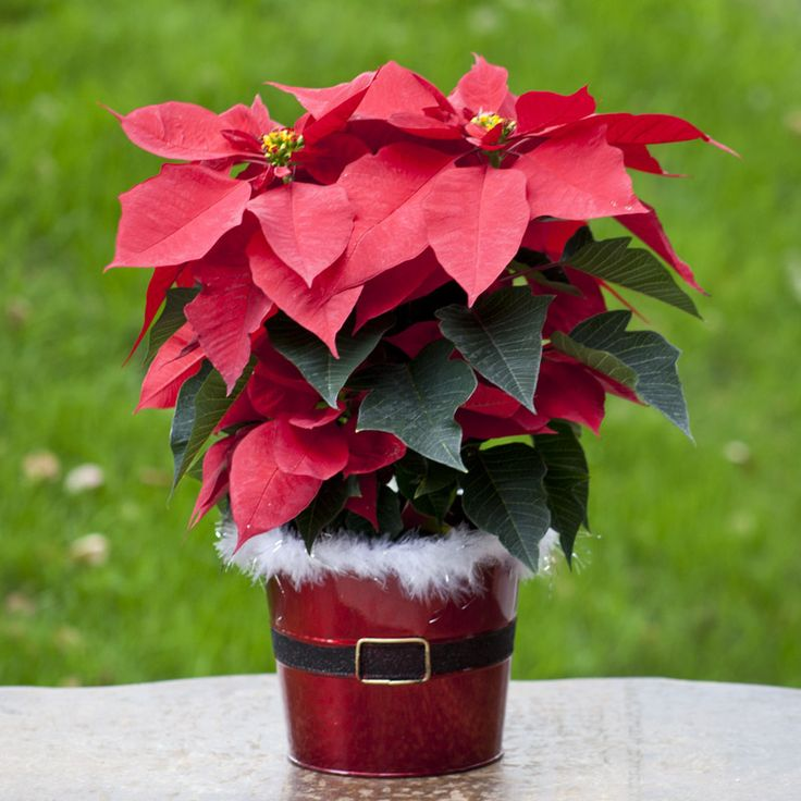 Poinsettia pavelife flowers pinterest