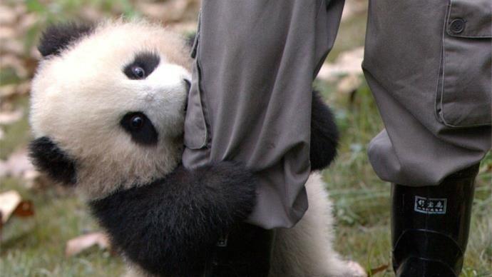 Qi Yi, un bébé panda âgé de 7 mois, fait preuve d'une affection débordante avec un soigneur du Centre de recherche sur le Panda géant de Chengdu, en Chine. Tandis que l'homme essaie, tant bien que mal, de disposer des cannes de bambou dans son enclos, Qi Yi ne cesse de s'agripper à sa jambe. Le soigneur tente de le repousser à plusieurs reprises pour pouvoir faire son travail correctement, mais le petit panda revient toujours à lui tel un véritable pot de colle. Une vidéo amusante...