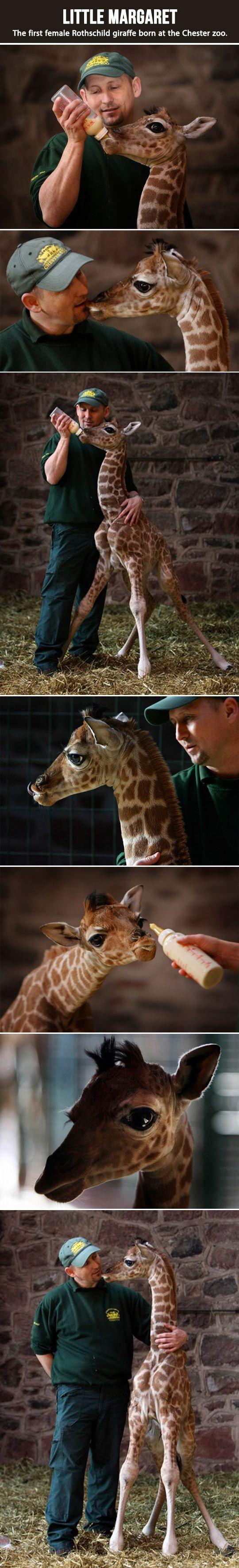 A baby giraffe called Margaret