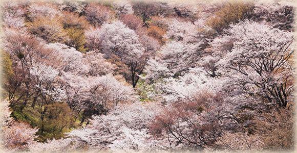 Cherry, autumn leaves and hydrangea of Mt. Yoshino  http://www.yoshinoyama-sakura.jp/english/flowers.htm  奈良、吉野の千本桜