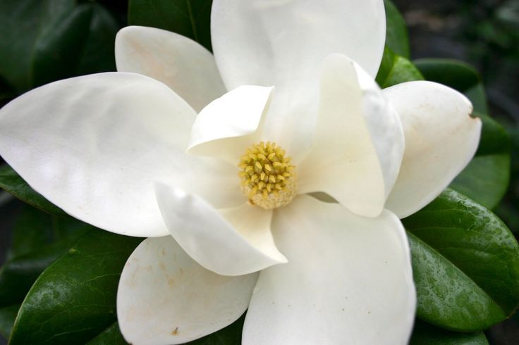Magnolia Floribunda Teddy Bear Bloom
