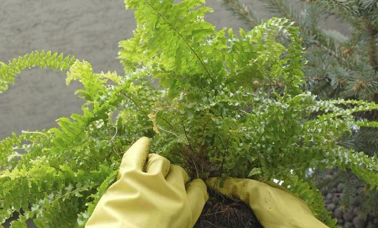 como cuidar una planta helecho 4