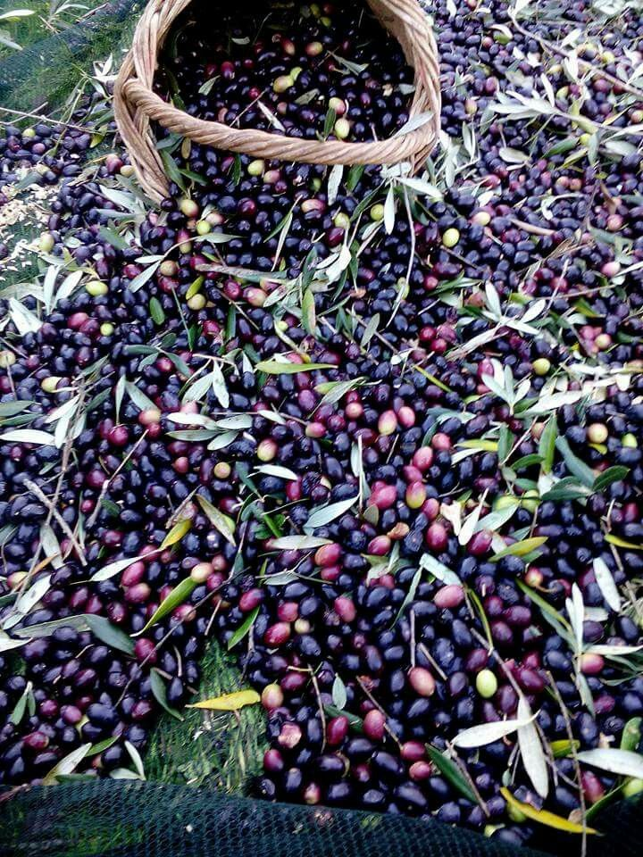Olive harvest, Peloponnese, Greece