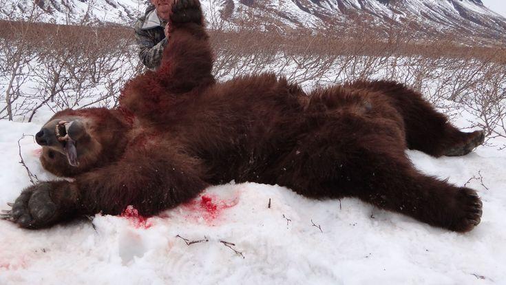Arrêter la cruauté envers les animaux veut  Dites à l'USFWS de ne pas autoriser la chasse Grizzly!  Le Fish and Wildlife Service des États-Unis propose la radiation de l'ours grizzli et permettant aux Etats d'autoriser la chasse aux trophées.