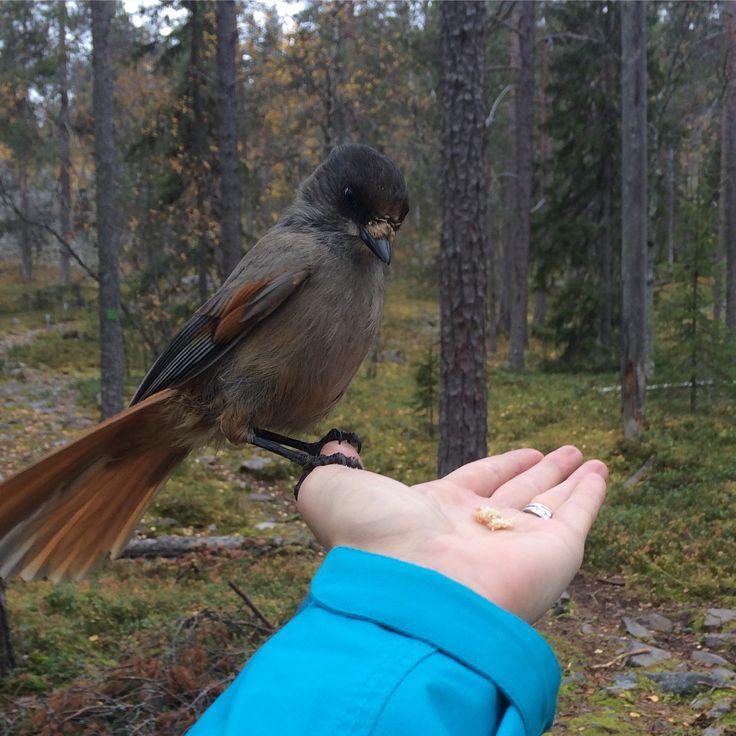 Kuukkeli. Bird. Hiking. Trekking. Luosto. Lapland. Finland