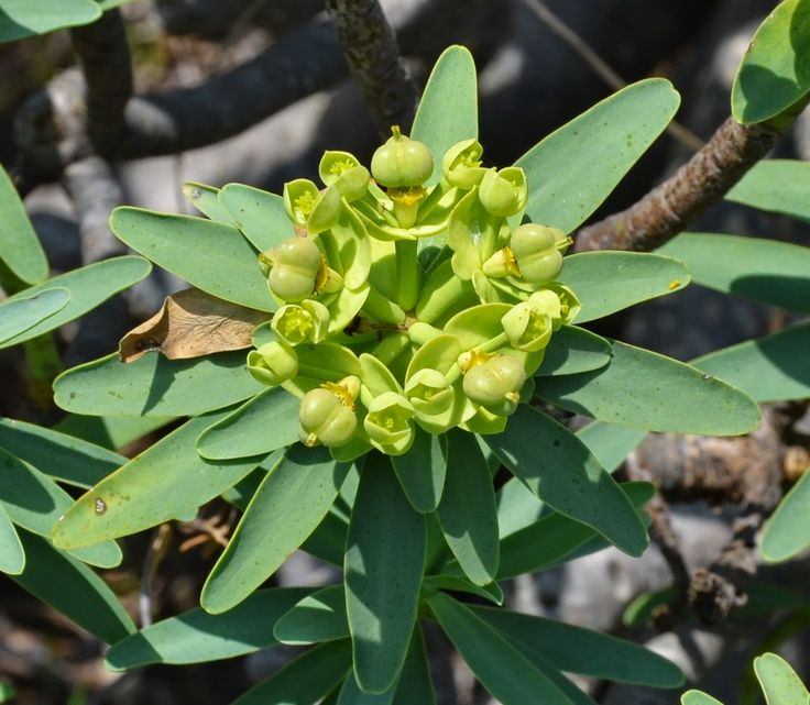 Euphorbia pedroi (endemismo de Portugal)