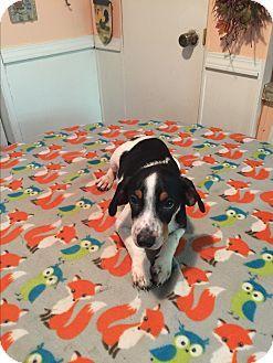 Glastonbury, CT - Beagle/Border Collie Mix. Meet Weston, a puppy for adoption. http://www.adoptapet.com/pet/18018289-glastonbury-connecticut-beagle-mix