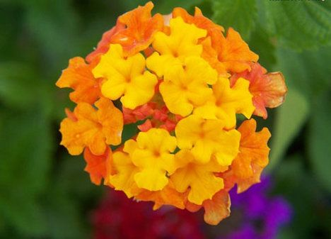 Lantána: mění barvy každý den  Pokud si nezvolíte zrovna variantu s bílými květy, může vás lantána překvapovat každý den. Její květy totiž mění během svého života barvu. Přitom tyto rostliny patří k těm méně náročným. Když jim dopřejete slunné místo, hodně vody a jednou za týden přihnojení, pokvetou krásně celé léto. Ale pozor v domácnostech s malými dětmi a domácími zvířaty, lantána je jedovatá!