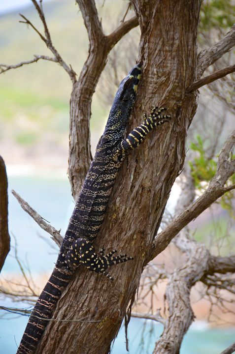We spotted this Goanna on the hike up to the summit of Tomaree Head. Port Stephens #goanna #portstephens