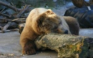 Take a lesson on fat loss from bears that activate their brown adipose tissue during winter months. By Michael Colgan, Ph.D. Thermogenesis is the creation