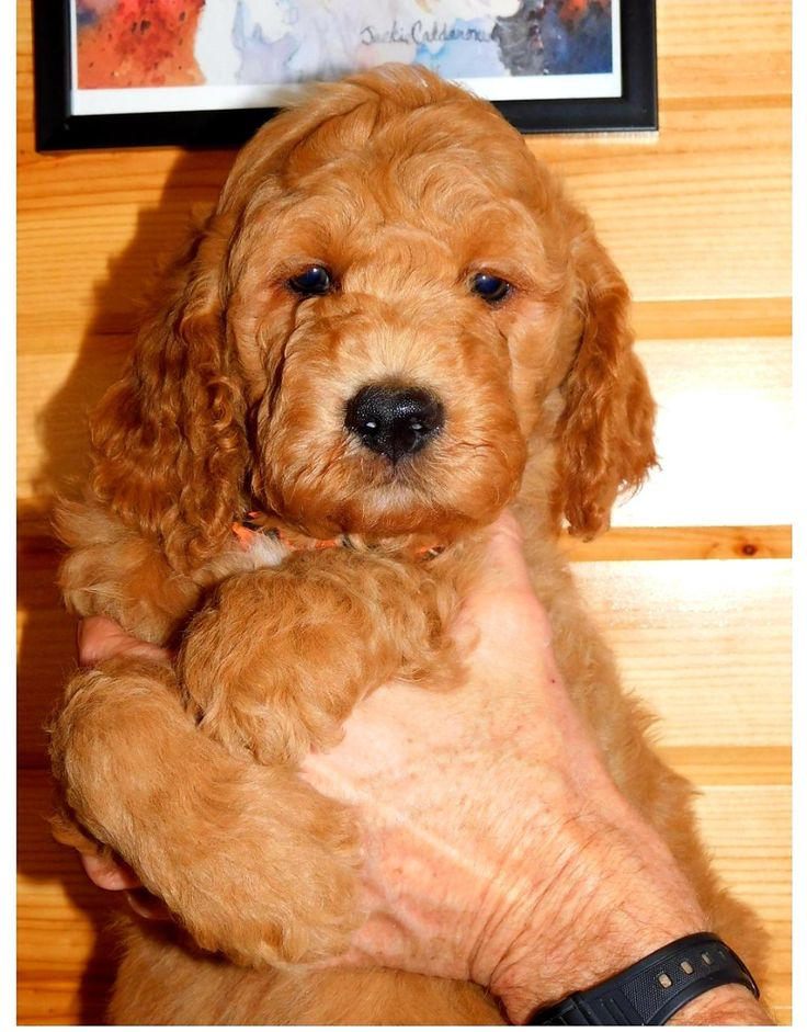 Puppies For Sale in 2020 Puppies for sale, Goldendoodle
