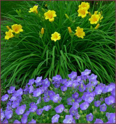 Great combo - H. 'Stella d'Oro' and Campanula carpatica v. turbinata 'Karl Foerster'.    (C. Carpatica 'Deep Blue Clips' will work equally well)