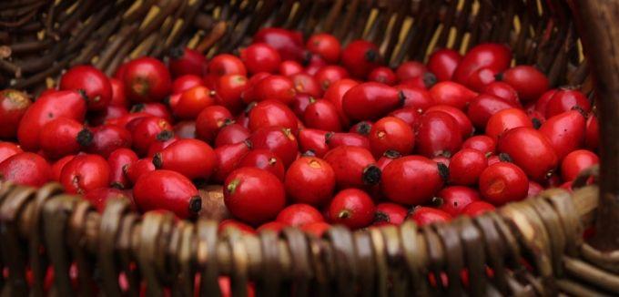 Rote Ernte: Frisch gesammelte Hagebutten, die Früchte der Hundsrose