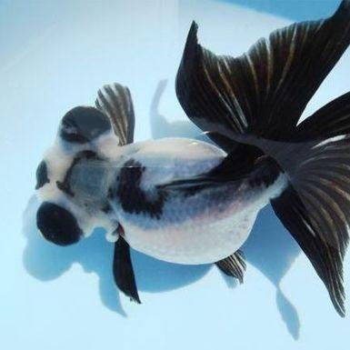 Google Image Result for http://www.cngoldfish.net/goldfish/goldfish_butterfly/img/b12.jpg