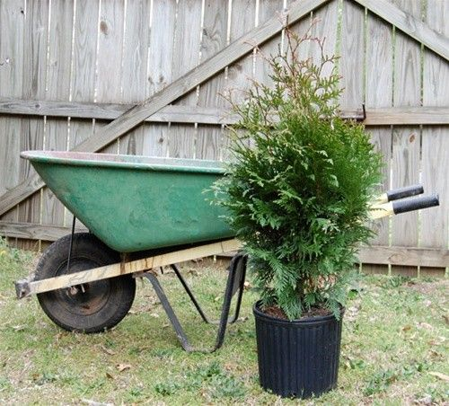 Thuja Green Giant (4-5 Foot Tall 3 Gallon Pot)