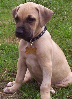 Black Mouth Cur - Learn more about the Black Mouth Cur, where it came from, its history, how big it gets in size and where you can get one for yourself!