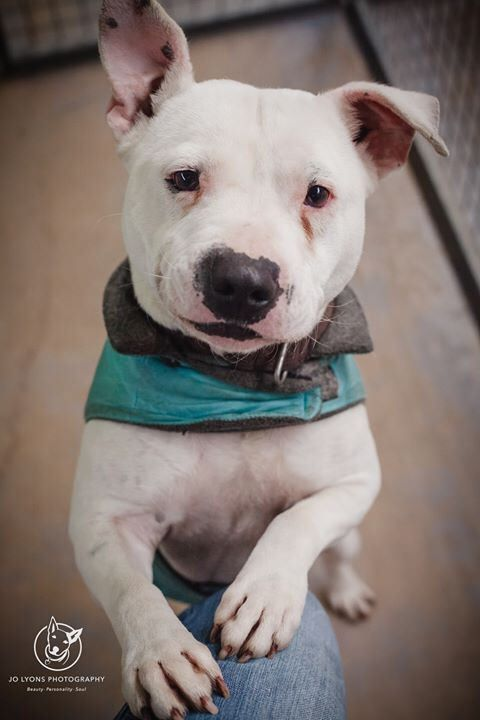 Gorgeous boy! This is Rocky ... he is such a sweet little Staffy. Like Archie below, he was surrendered... I don't know why but I think he was surrendered with his wifey Bear. She is hilarious, as you'll see when I post her photo, and has been used for br