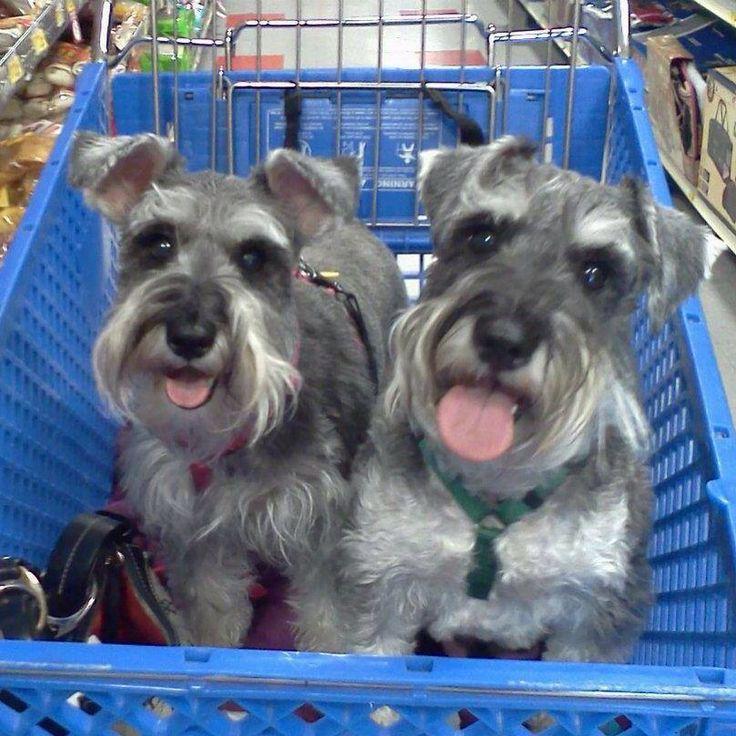 Happy pups at Petsmart! Toby and Daisy. | Cute Schnauzers ...