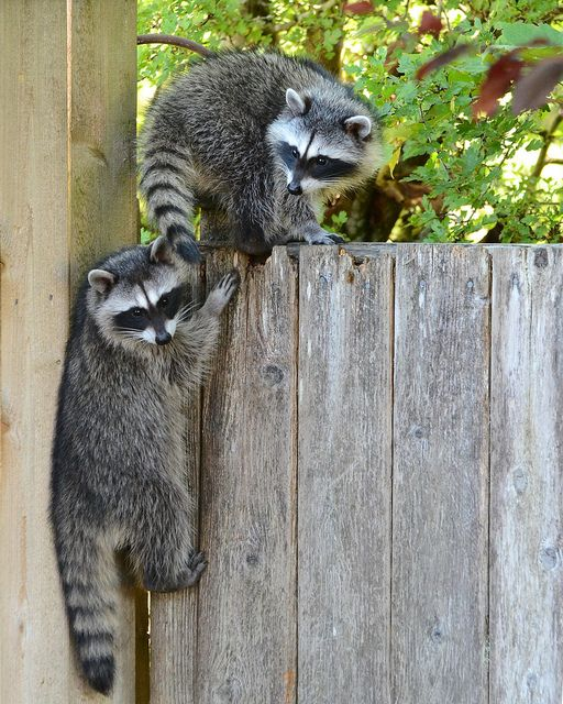 Raccoons -- I know some people think they're pests, but I think they're cute!!