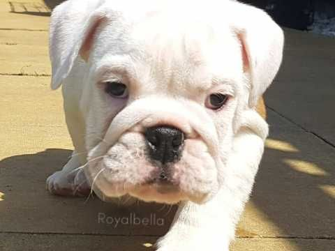 English Bulldog Puppies Champion Sired Bulldog Puppies