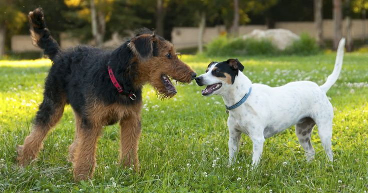 HOW DOGS GREET EACH OTHER. What does it mean when dogs smell each other's rear ends? Is wrestling a friendly way for canines to greet one another?
