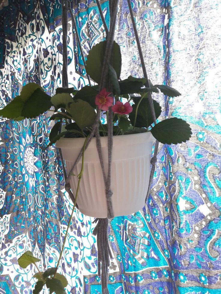 Truskawka wiszaca-fragaria x   ananassa