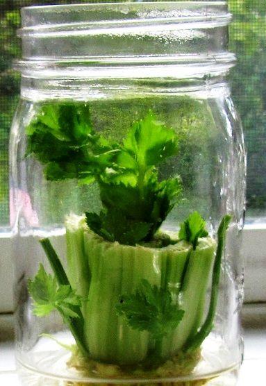 Как вырастить салат аттракцион