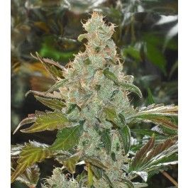 Greenhouse Company - Cheese - Pack of 5 Seeds $22.56