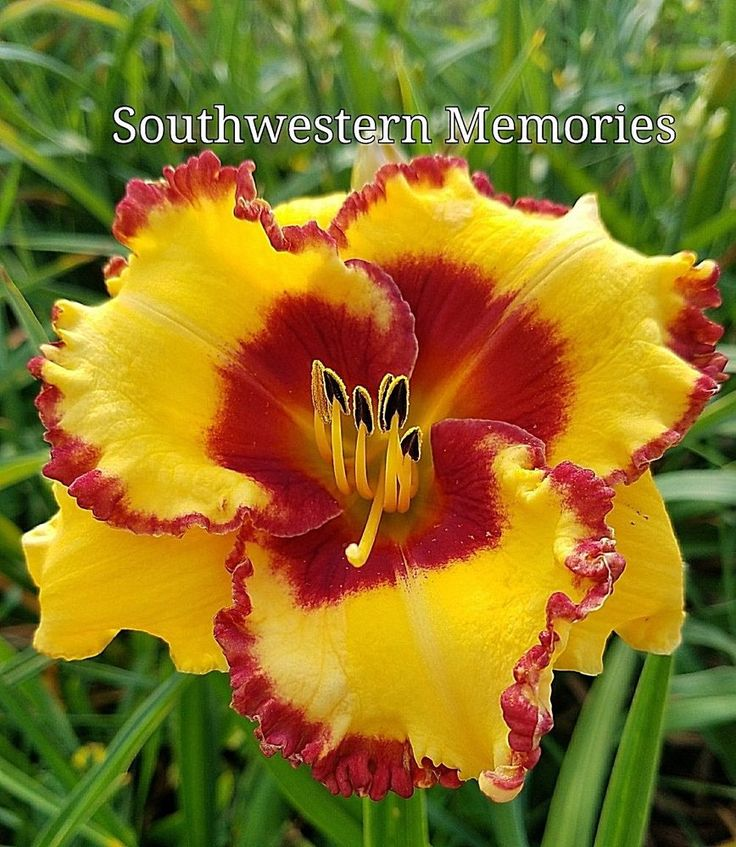 "DAYLILY ""Southwestern Memories""(SALTER)'05-yellow-RED EYEZONE&Edges-Perennial 