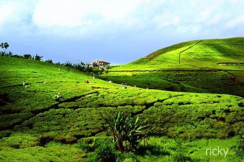 Green field of tea - Cikoneng Cianjur