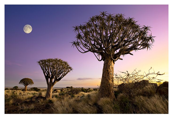 Africa | Kokerboom by Moon. Namibia.   The quiver tree or Aloe dichotoma or Kokerboom is probably the best known aloe found in South Africa and Namibia. | © Andre Roberge