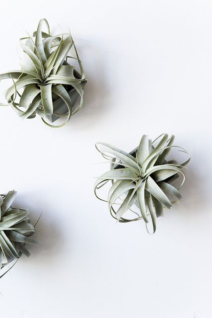 loving the air plants