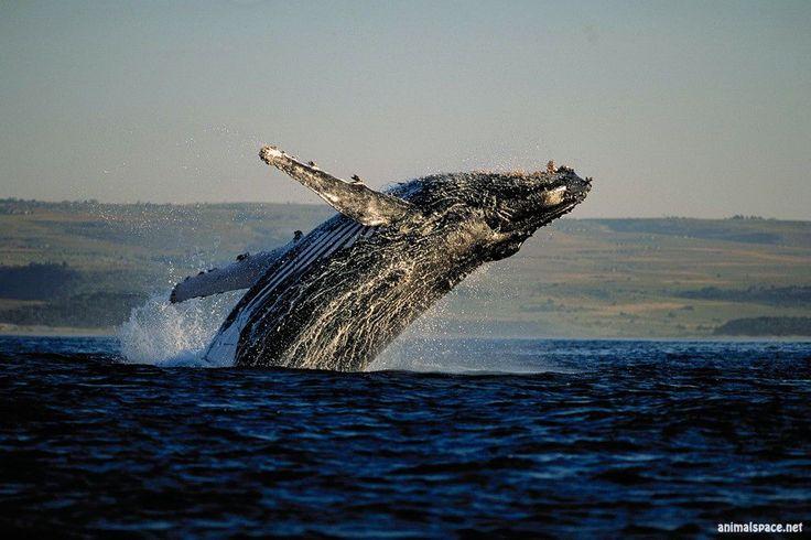 Горбач (горбатый кит)