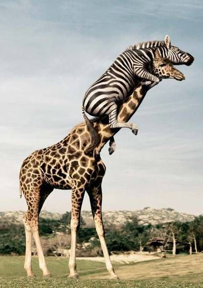 zebra and giraffe... Cuz HUD thinks this is funny