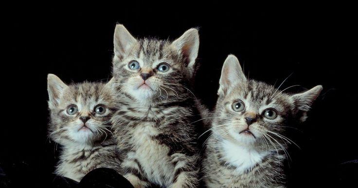 Desparasitante casero para gatitos. La desparasitación regular es una parte importante del cuidado de tu gatito. Si los gusanos y otros parásitos internos se dejan sin tratar, pueden hacer que tu pequeña mascota enferme de gravedad o incluso que muera. Hay desparasitantes en el mercado que puedes administrarle para acabar con el problema; sin embargo, algunos de los productos ...