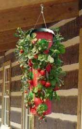 Topsy Turvy Strawberry Planter | Strawberry Plants .org