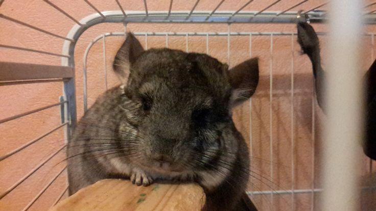 Шу, chinchilla, rodent