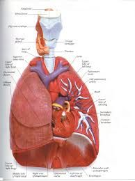 Anatomy of the heart for dummies