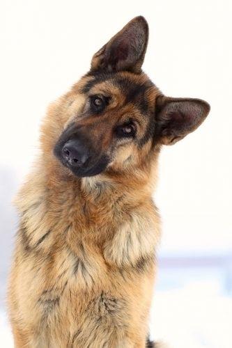 tengo una perrita pastor aleman y se llama laica, pero no es la de la foto pero se parece