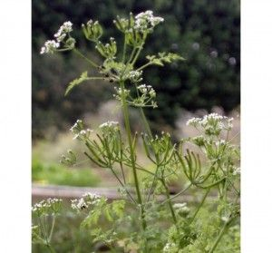 Cerefólio (Anthriscus cerefolium Hoffmann)