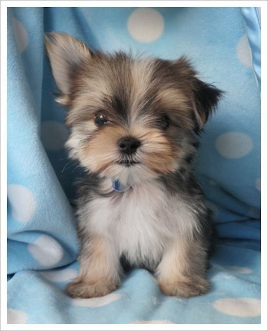 yorkie: Malti Yorkie, Puppies, Polka Dots, Dogs, So Cute, Malt Yorkie, Pet, Ears, Animal